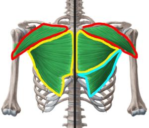 解剖学的な大胸筋